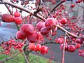 Crabapples on branch.jpg