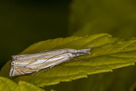 Crambus lathoniellus Lodz(Poland)03(js).jpg