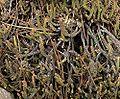 Crassula lycopodoides 1.jpg