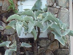 Kalanchoe Beharensis Wikispecies