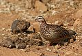 Crested Francolin, Dendroperdix sephaena, feeding in dung at Pilanesberg National Park, Northwest Province, South Africa (29776770331).jpg