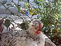 Crested Hen 1.jpg