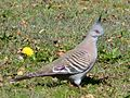 Crested Pidgeon. Ocyphaps lophotes - Flickr - gailhampshire.jpg
