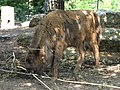 Critically endangered European bison - I had no idea they existed! (540197631).jpg