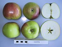 Cross section of Bountiful, National Fruit Collection (acc. 1977-054).jpg