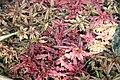 Cryptanthus bivittatus 1zz.jpg
