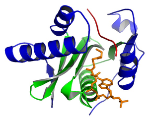 Histone acetyltransferase - Crystal structure of Tetrahymena Gcn5 with bound coenzyme A and histone H3 peptide (PDB 1QSN). The central core (green), flanking N- and C-terminal segments (blue), coenzyme A (orange), and histone peptide (red) are shown.