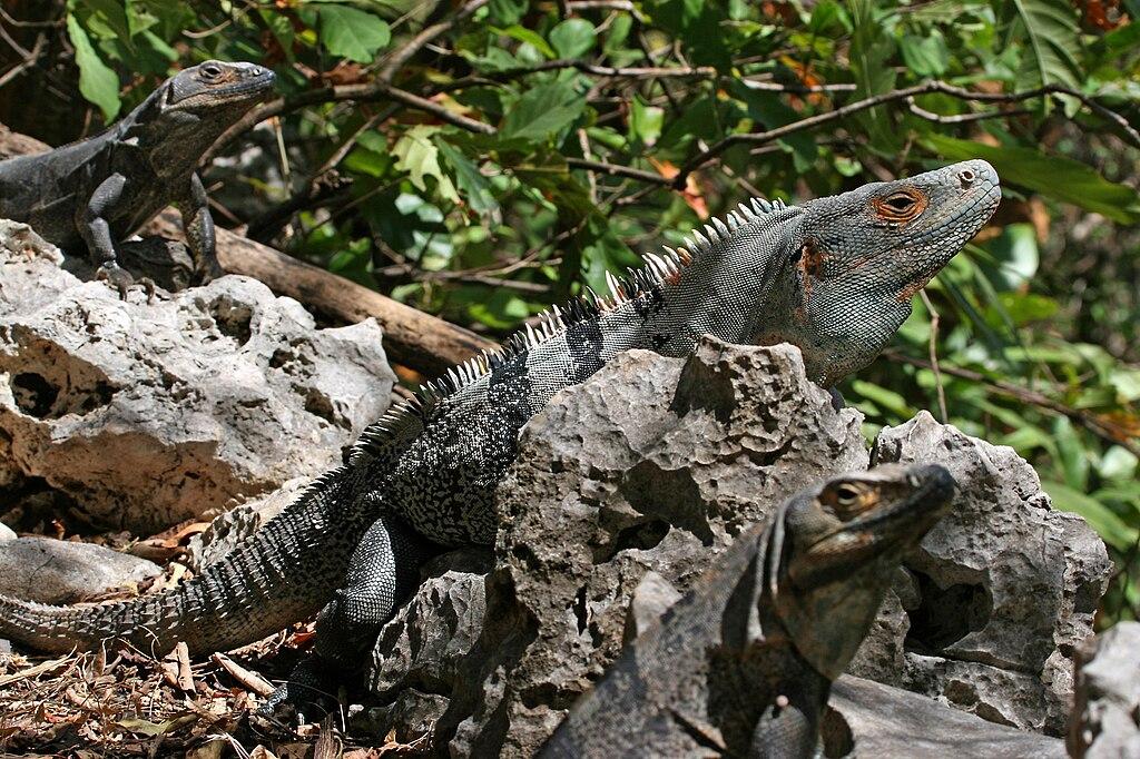 CtenosauraSimilis