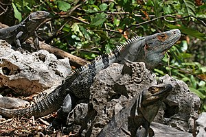 Ctenosaura similis, Black Iguana, male with tw...