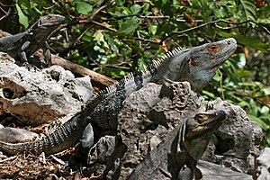 image of CtenosauraSimilis