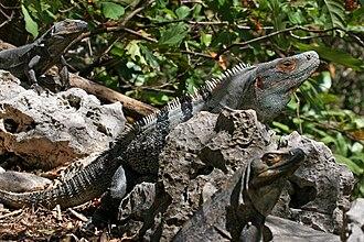 Ctenosaura similis - Image: Ctenosaura Similis