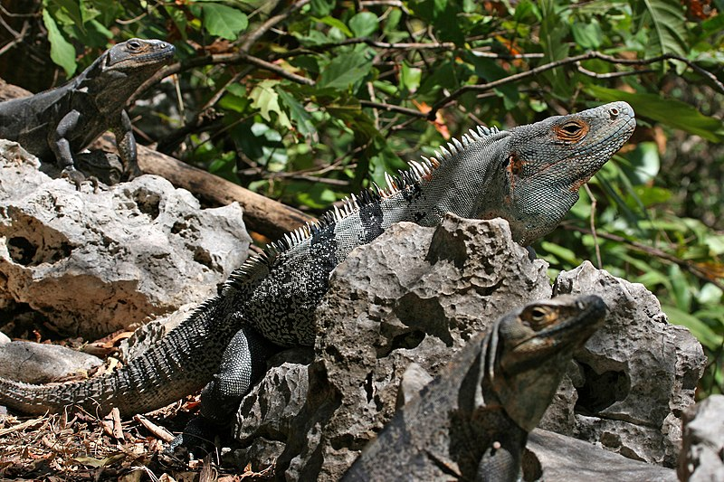 http://upload.wikimedia.org/wikipedia/commons/thumb/1/19/CtenosauraSimilis.jpg/800px-CtenosauraSimilis.jpg