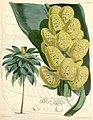 Curtis's botanical magazine (Tab. 5932) (8393058014).jpg