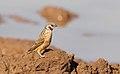 Cut-throat finch, Amadina fasciata at Mapungubwe National Park, Limpopo, South Africa (album includes copulating pair) (17863919912).jpg