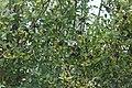 Cyanistes caeruleus (23057519883).jpg