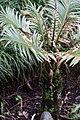 Cycas revoluta Neocaledonica 3zz.jpg