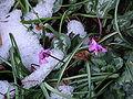 Cyclamen coum in melting snow.jpg