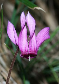 Cyclamen purpurascens 280803.jpg