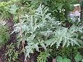 Cynara cardunculus young plant.jpg