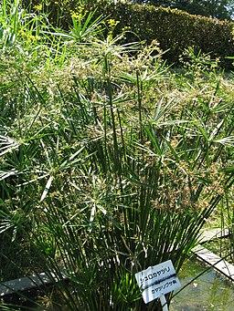 Cyperus alternifolius2