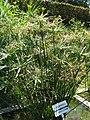 Cyperus alternifolius2.jpg