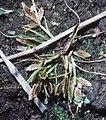 Cyperusbipartitus.jpg