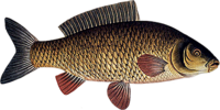 A carp, an example of a teleost