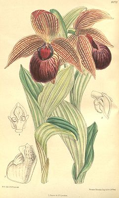 Cypripedium tibeticum.jpg