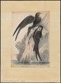 Cypselus galilaeensis - 1700-1880 - Print - Iconographia Zoologica - Special Collections University of Amsterdam - UBA01 IZ16700095.tif
