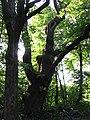 Dąb w Chocimiu (Park Krajobrazowy Góry Opawskie) 04.jpg