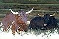 DSC08691 - Oxen (36383659894).jpg