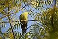 DSC 0351 green pigeon by Dr Pankaj Kumar Upadhyay.jpg