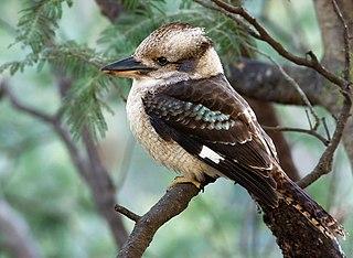 Kookaburra genus of birds