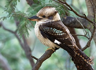Kingfisher - The kookaburra has a birdcall which sounds like laughter.