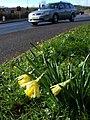 Daffodils by Riviera Way - geograph.org.uk - 335651.jpg