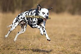 Dalmatian fetching a stick.jpg