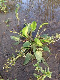 Damasonium alisma, Israel.jpg