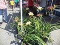 Daylilies 2, Adel Daylily Festival 2013.JPG