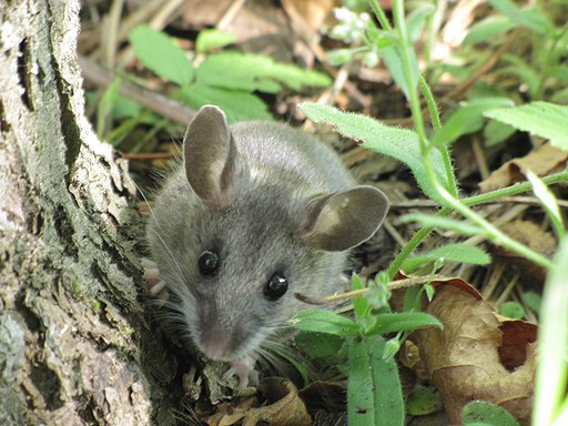 Deer Mouse (Peromyscus maniculatus) (9310532204)