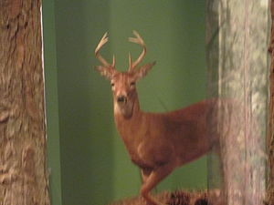 Cape Fear Museum - Deer exhibit at Cape Fear Museum.