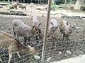 Deer in Zoo Negara Malaysia (3).jpg