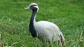 Demoiselle Crane (Anthropoides virgo) (2).JPG
