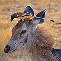 Dendrocitta vagabunda -India -deer-8.jpg