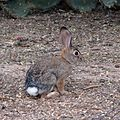 Desert Cottontail - Flickr - treegrow.jpg