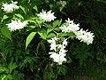 Deutzia gracilis 1.JPG