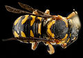 Dianthidium curvatum, F, back, Sandhills, South Carolina 2012-11-15-12.22.41 ZS PMax (8246447162).jpg