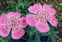Dianthus callizonus 3
