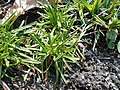Dianthus glacialis 2017-05-06 9711.jpg