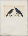 Diglossa personata - 1820-1860 - Print - Iconographia Zoologica - Special Collections University of Amsterdam - UBA01 IZ19000411.tif