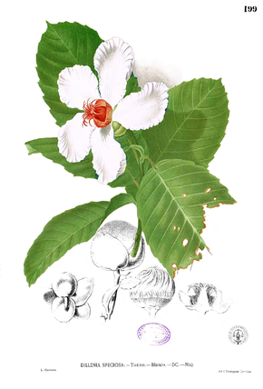 Description de l'image  Dillenia philippinensis Blanco1.199.png.
